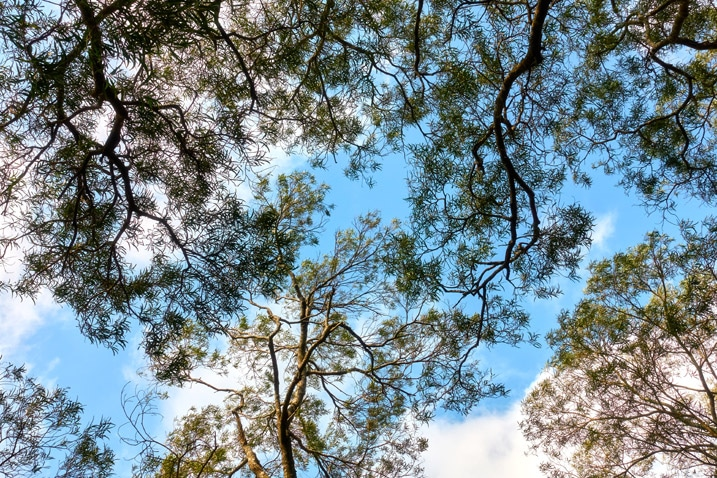 Looking up to the sky - trees and leaves - blue sky and white clouds