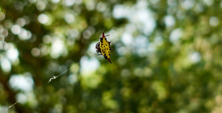 Closeup of yellow and black spider