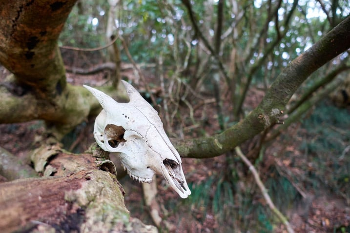Animal skull hung on tree