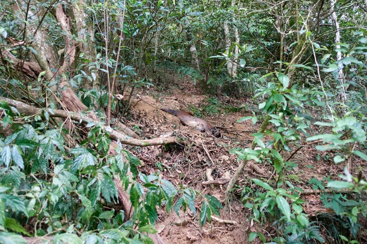 Dead muntjac caught in trap on side of mountain - trees all around
