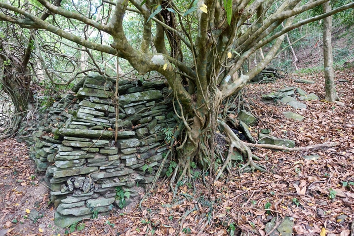 Old stone wall with tree growing out from it