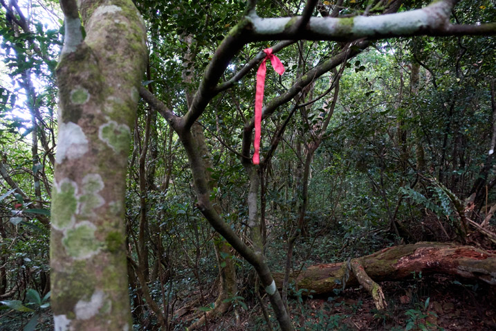 Red ribbon tied to tree - many trees around
