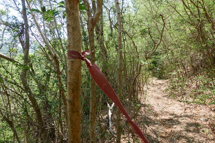 Red trail ribbon tied to small tree - dirt road