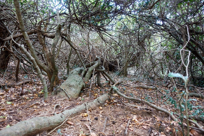 Overgrown trees and vines - one downed tree