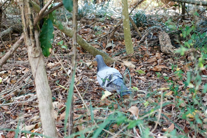 Racing pigeon on ground looking for food