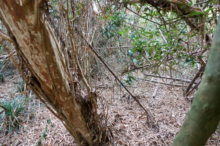 Many fallen bamboo trees
