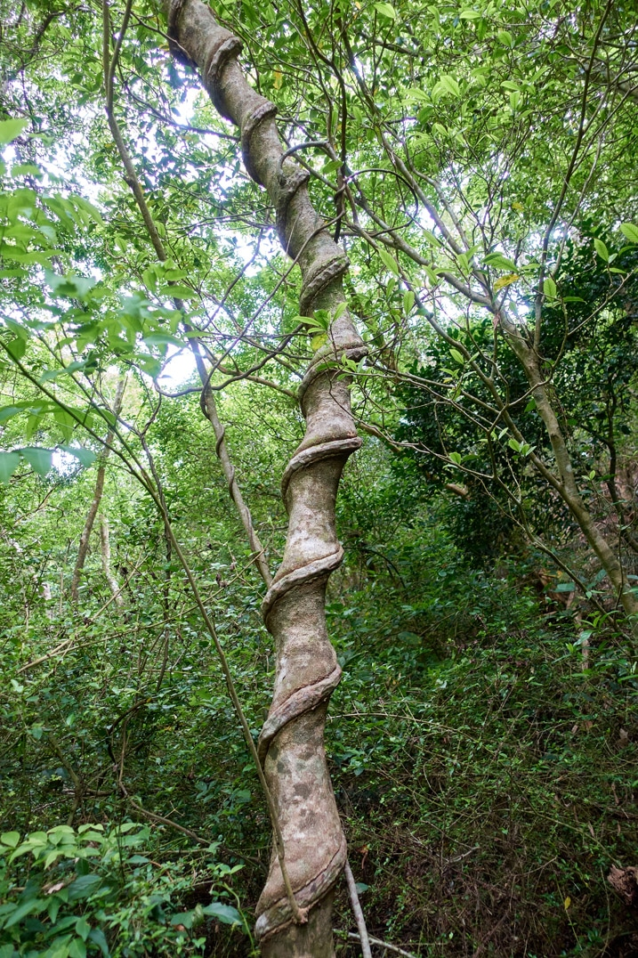 Tree with vine embedded in it - vine twirling up