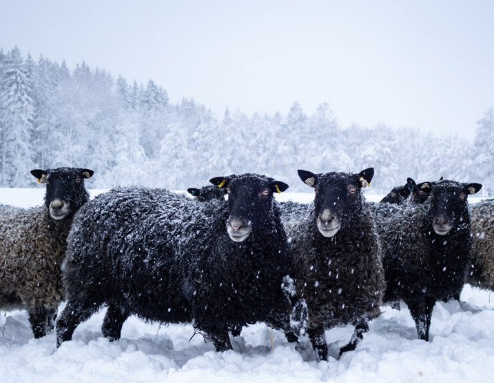 Several black sheep standing in snow