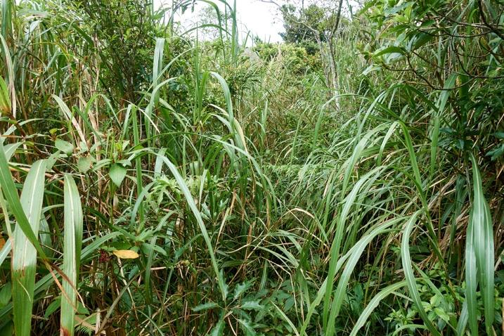 A lot of very tall grass