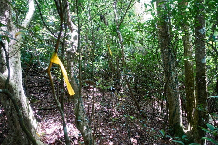 Old overgrown mountain road - trees all over - yellow ribbon tied to tree
