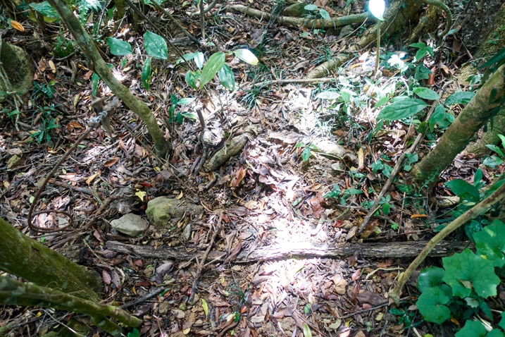 Spring type animal trap in forest