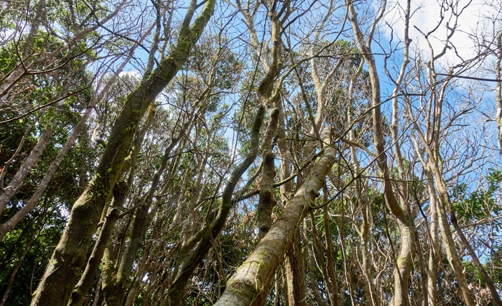 Looking up at many dead trees