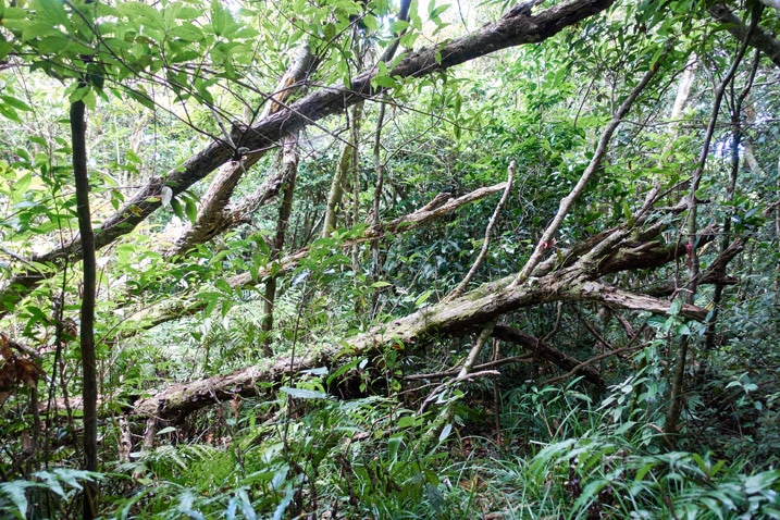 Several fallen trees - dense jungle beyond