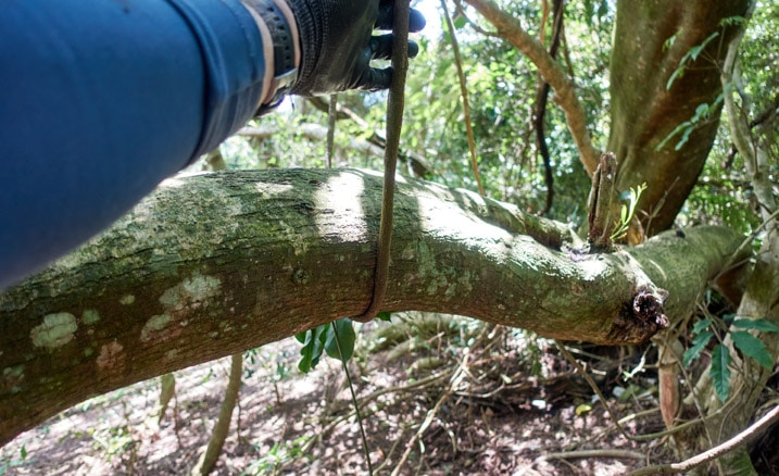Man touching vine that's holding up tree in forest