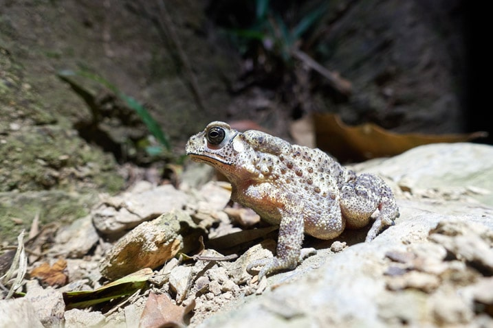 Closeup picture of toad on trail