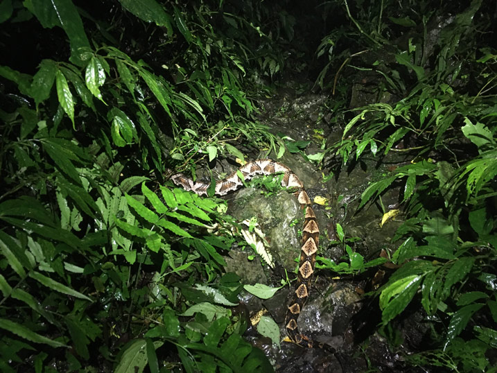Taiwan pit viper - 100 Pacer - across a rocky trail - vegetation on either side - night