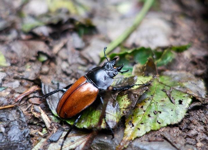 Closeup of orange and black beetle on leaf