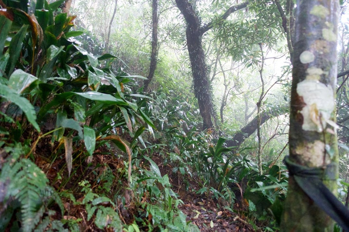 Mountain jungle trail - lots of trees and vegetation - foggy