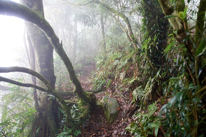Mountain jungle trail - many trees on either side - foggy