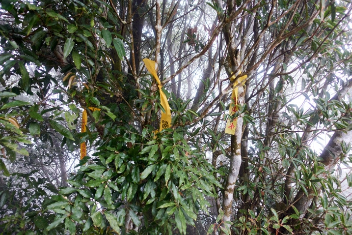 Several yellow ribbons attached to trees - foggy