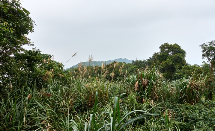 Tall grass and vegetation in foreground - tip of mountain peak in background - hazy