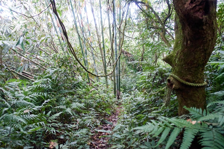 Jungle trail - bamboo trees in back - overgrowth all around - rope tied to tree on right