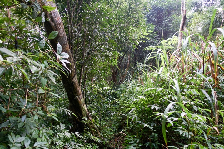 Mountain trail - overgrown plants on either side - some trees
