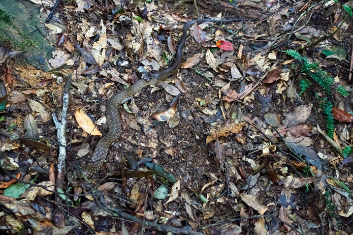 Two Swinhoe's Grass Snakes mating - many dead leaves on ground