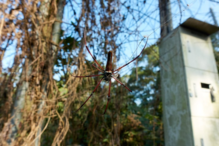 Closeup of red golden orb-weaver spider on web