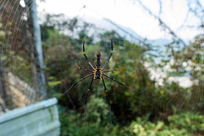 Closeup of golden orb-weaver spider on web