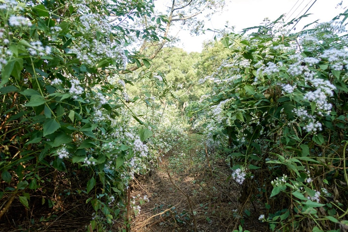 Path on mountain ridge with white flowery plants on either side