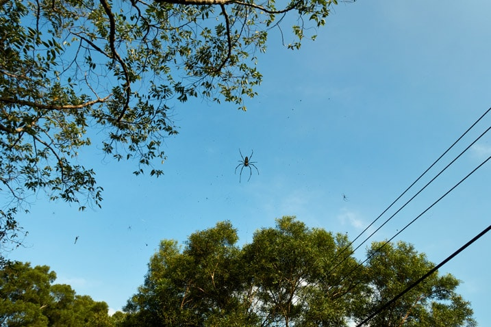 Golden orb-weaver spider on web high up in the trees