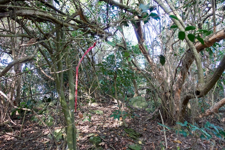 Long, red ribbon attached to tree - large tangle of small trees and vines