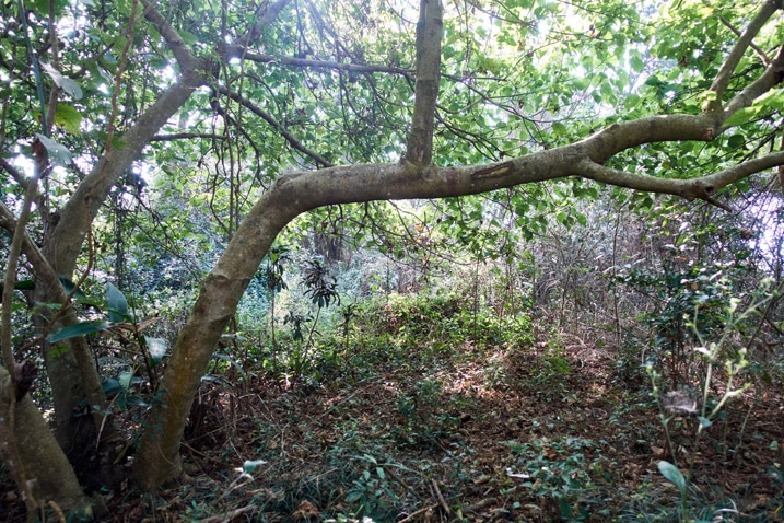 Horizontal tree across mountain ridge trail - many plants and trees all over