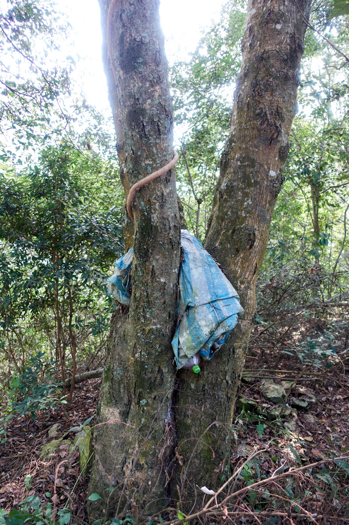 Blue and white striped tarp jammed between two trees