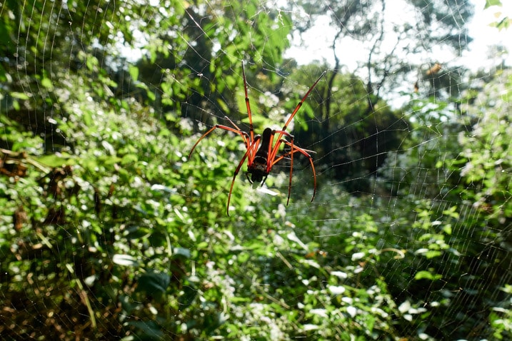 Closeup of red golden orb-weaver spider eating on its web