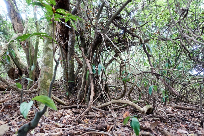 A jumble of small trees and vines