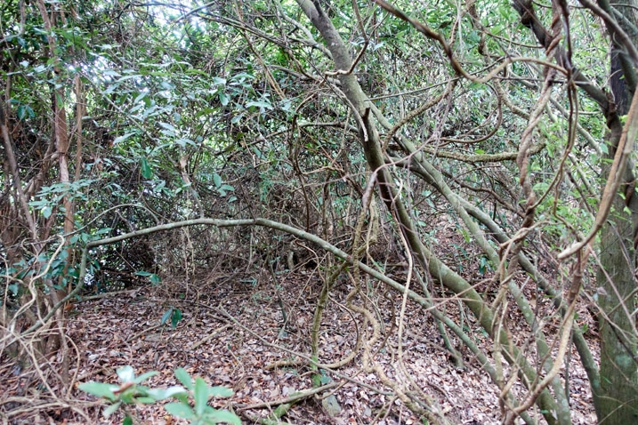 A tangle of trees and vines on mountain ridge