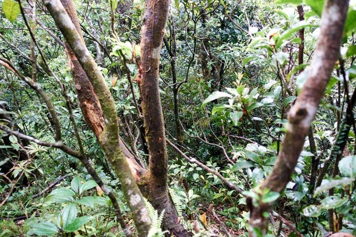 Dense trees on mountain ridge - looking down