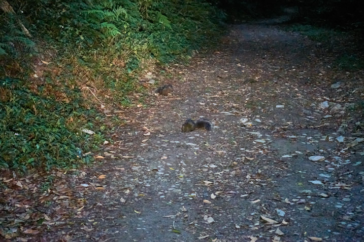 Dirt road with two squirrels eating on the left side - early morning darkness - trees and plants on either side
