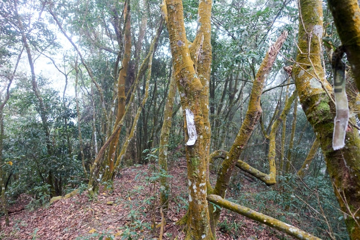 Looking down a mountain ridge - many trees - white ribbon attached to center tree