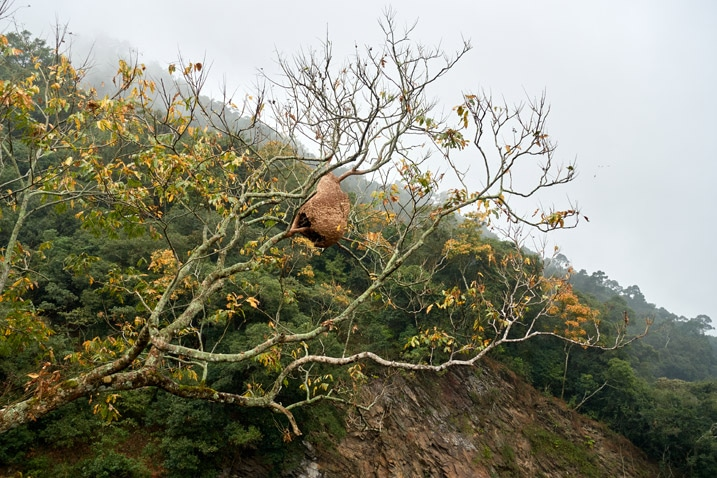 Large hornet's nest high up in a tree