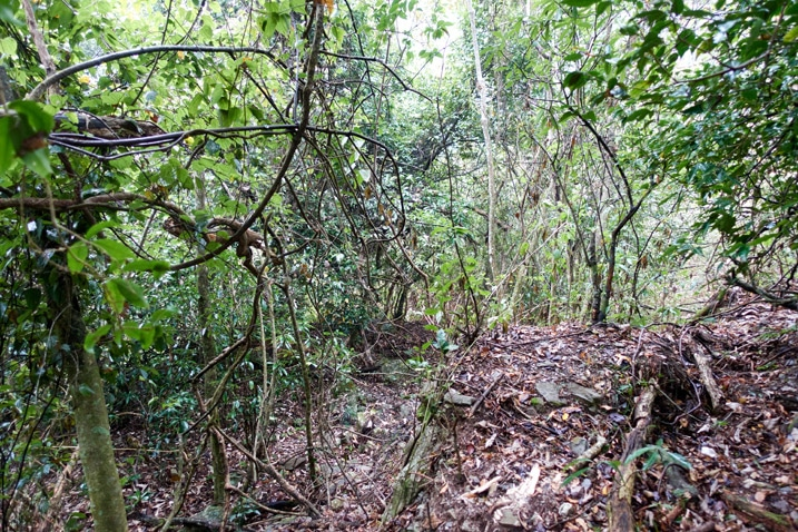 Jungle-like mountain forest - many trees and vines