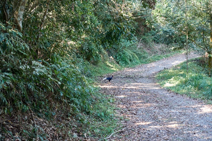 Dirt road - Swinhoe's pheasant on side of road - plants and trees either side of road