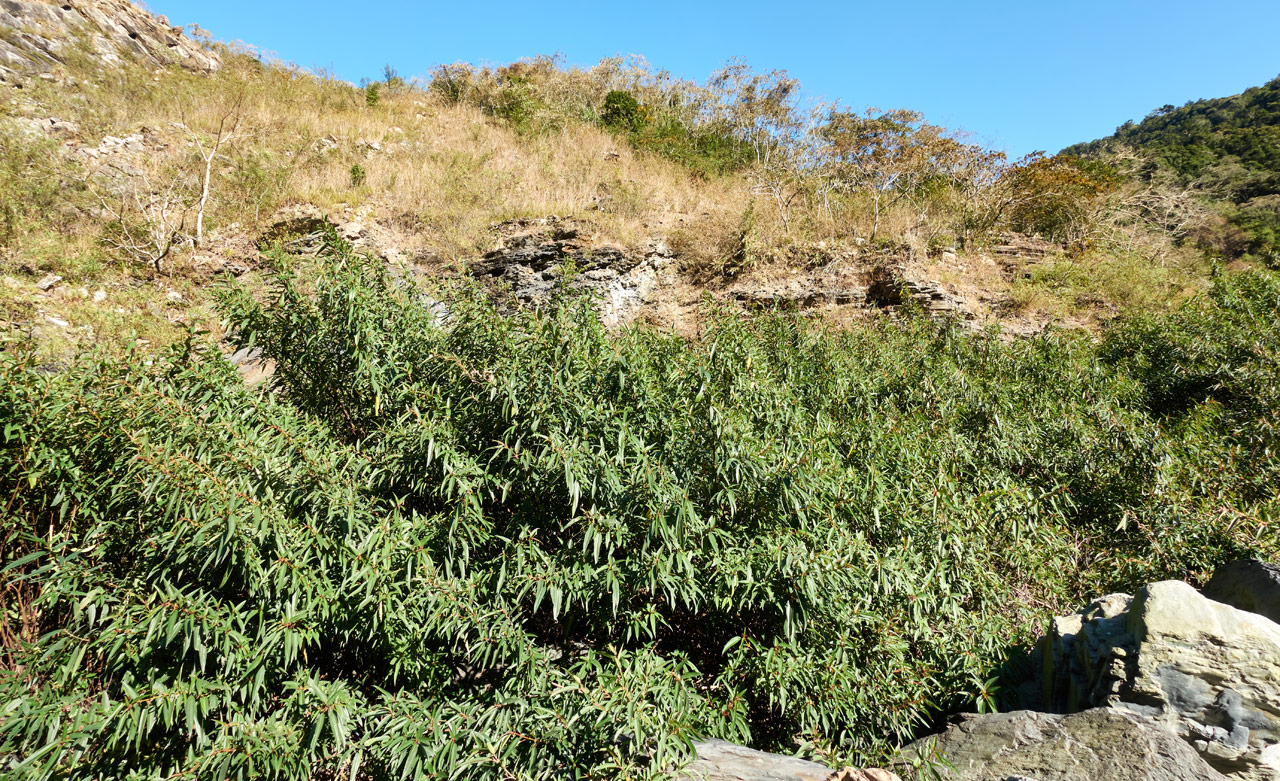 Looking up at mountain - many tall plants in foreground - blue sky