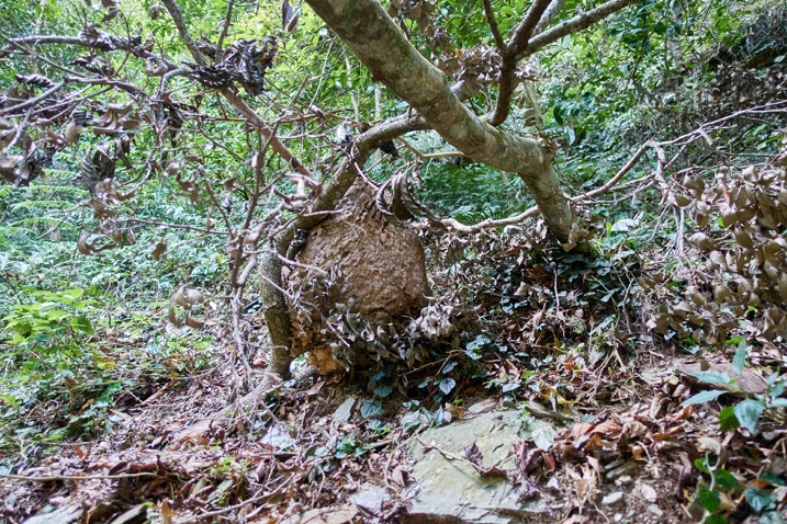 Wasp or hornet nest attached to fallen tree on the ground