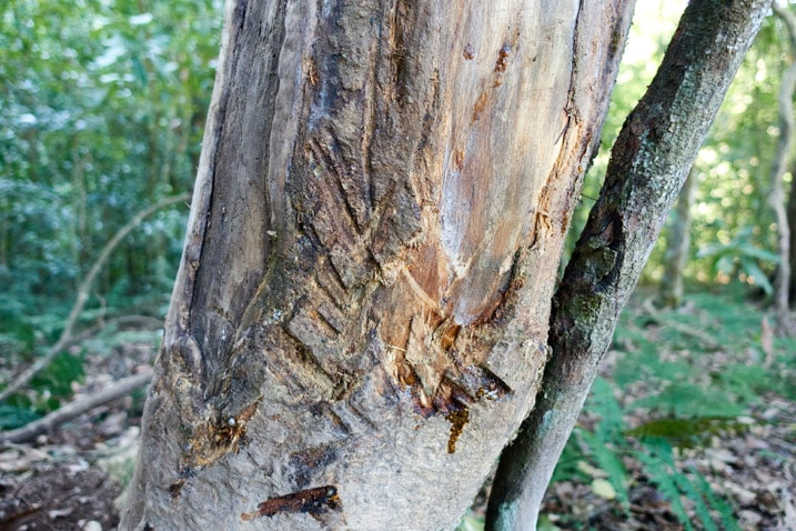 Tree with no bark - claw or antler marks on tree