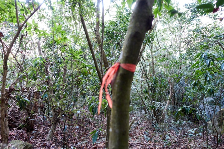 Orange trail ribbon tied to tree - many trees in background