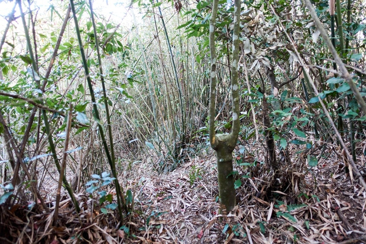 Trail winding its way through bamboo trees
