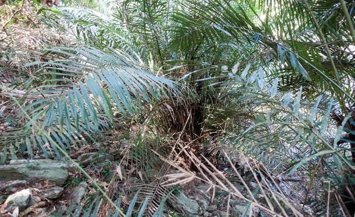 Large fern type tree